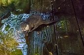 Otter Sitting At The River Side On Some Wet Wooden Planks With Wet Hairy Fur Water Animal Portrait poster