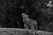 Cheetah, Acinonyx Jubatus, Walking Wild Cat. Fastest Mammal On The Land, Botswana, Africa. Cheetah I poster