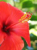 Hibiscus rojo arnottianus (DOF superficial)