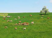 Herd of cattle on a scenic Alpine meadow. Emmental, Switzerland