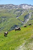Cows at Furka pass, Switzerland