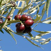 pic of olive branch  - Leaves of olives and bunch of fruit that ripening on the branch of the tree - JPG