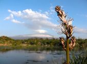landscape for flowers of white asphodel on the background the blue shy with the cloud and the volcan