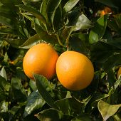 red citrus of Sicily on the tree