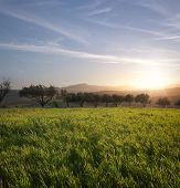the sun is setting on a field of grass and row of olive trees