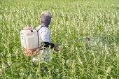 A Young Man Farmer Master Is Spraying Pesticides (farm Chemicals) On His Own Sesame Field To Prevent poster