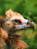 Beak detail of a brown vulture