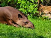 Tapir(tapirus)