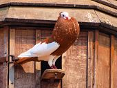 Proud brown pigeon