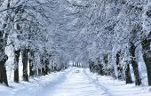 pic of winter trees  - WInter tree alley - JPG