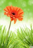stock photo of easter flowers  - Gerber flower in bunch of grass - JPG