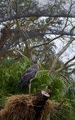 Shoebill Stork On Nest