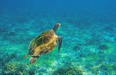 Sea Turtle In Ocean Waters. Coral Reef Animal Underwater Photo. Marine Tortoise Undersea. Green Turt poster
