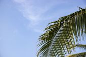 Coco Palm Leaf On Blue Sky Background. Green Palm Leaf Tropical Landscape Photo. Exotic Place For Va poster