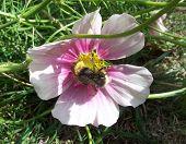 Cosmos & Bee