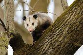 The Virginia Opossum (didelphis Virginiana) On The Tree.  Wildlife Area In Wisconsin. poster