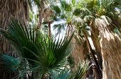 Fan Palm Trees In The Indian Canyons Near Palm Springs California In The Coachella Valley poster