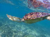 Sea Turtle Diving In Blue Sea. Sea Turtle In Tropical Seashore, Underwater Photo Of Marine Wildlife. poster