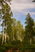 Birch In The Taiga Forest Near Irkutsk, Russia, Vertically Without People, Landscape, Summer. poster