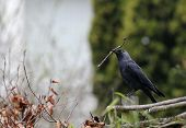 jackdaw (corvus monedula) gathering nesting materials in spring