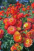 Yellow-red Dahlia Flowers In The Botany Garden poster