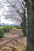 Asakusa Sumida Park Cherry Blossom Festival. In Springtime, Sumida River Is Surrounded By Cherry Blo poster