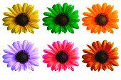 pic of six-petaled  - Sunflower macro in six color varieties with path - JPG