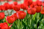 A red tulips