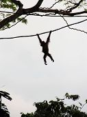 Silhouette Of Orangutan On Vine