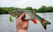 Chub caught on plastic lure against water and sky