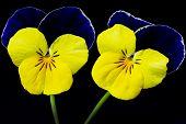 Two viola cornuta flowers
