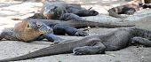 picture of giant lizard  - The Komodo dragon - JPG