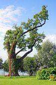 Picturesque Oak On Olga's Island