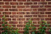 stock photo of english ivy  - English ivy creeps up a brick wall - JPG