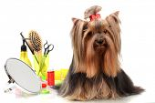stock photo of yorkie  - Beautiful yorkshire terrier with grooming items isolated on white - JPG