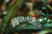 Butterflies - The Pair