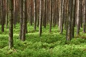 Pine Forest. Spring Time.