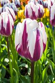 Purple And White Tulips