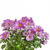 beautiful bouquet of pink chrysanthemum flower daisy close up isolated on white background