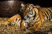 image of white tiger cub  - Tigress and her cub basking in the sun at the entrance of their den - JPG