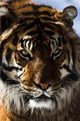 foto of foodchain  - Close up of a tiger - JPG