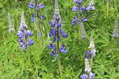 Lupine Flowers in Alaska