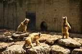image of foodchain  - Brown Bears looking for food standing on rock - JPG