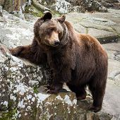 Brown Bear Standing On A Rock