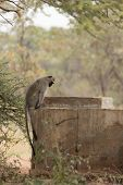 stock photo of ape-man  - One Vervet monkey sitting on the edge of a man made dam looking at the water - JPG
