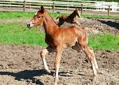 Little  Chestnut Foals In Movement