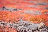 Land iguana endemic to the Galapagos islands, Ecuador hiding in succulent sesuvian grass