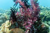 Dendronephthya Klunzingeri Lembeh Strait