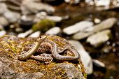 foto of garden snake  - A Close up of an Eastern Garter Snake - JPG