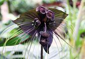 Exotic Flower Tacca Chantrieri